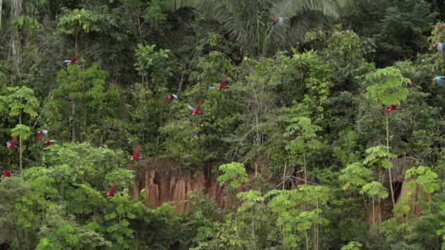 Flock of Red Macaws takeoff from clay lick, high speed