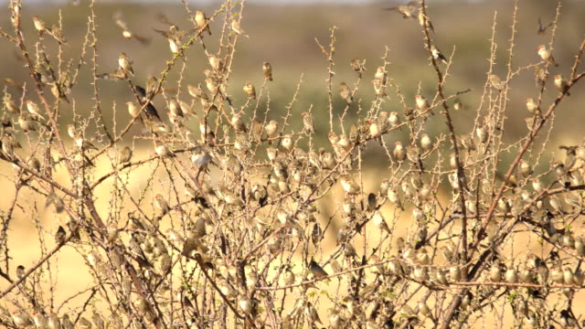 A flock of Red-billed Quelea in Erindi Game Reserve, Namibia