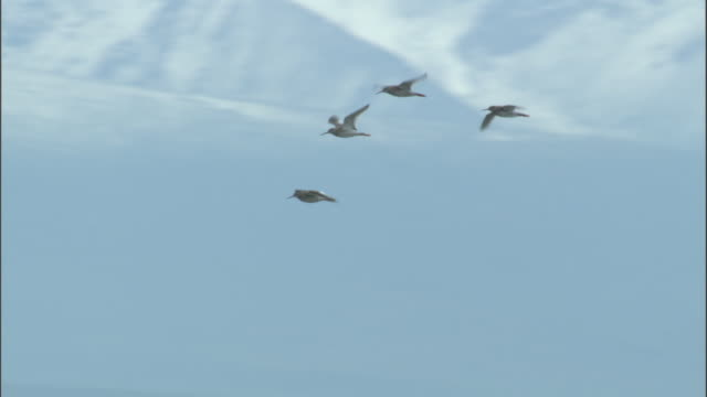 Flock of redshank fly past mountains, Bayanbulak grasslands.