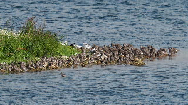 a flock of redshank, lapwing and turnstone with sandwich terns and a little grebe, roosting during high tide at hodbarrow nature reserve, cumbria, uk. - シギ科点の映像素材/bロール