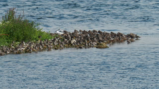 a flock of redshank, lapwing and turnstone with sandwich terns roosting during high tide at hodbarrow nature reserve, cumbria, uk. - シギ科点の映像素材/bロール