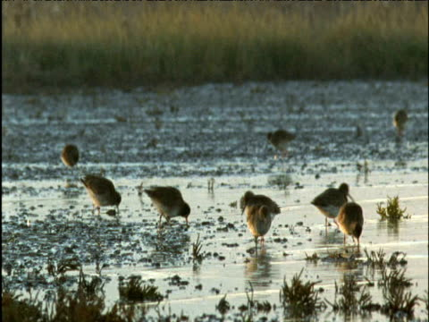 flock of redshanks forages on mud flats - apparato digerente animale video stock e b–roll
