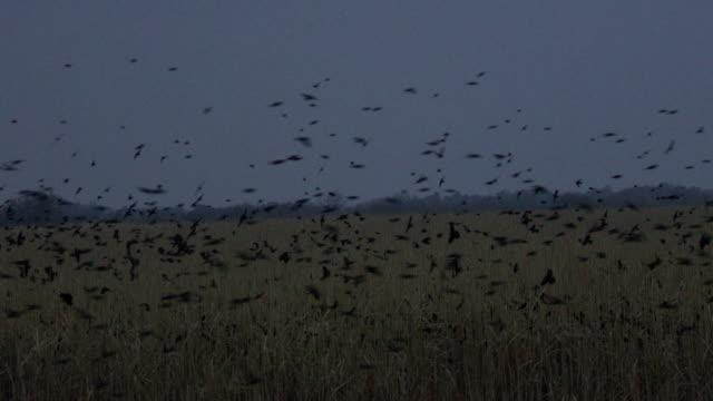 flock of red-winged blackbirds flying above rushes at dusk, lower rio grande valley - rotschulterstärling stock-videos und b-roll-filmmaterial