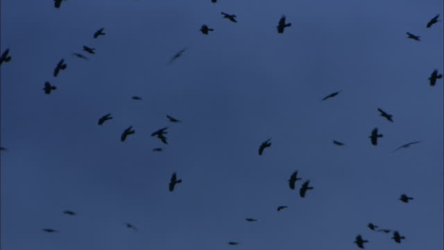 "stockvideo's en b-roll-footage met flock of rooks (corvus frugilegus) flies over rookery at dusk, norfolk, uk - ""bbc natural history"""