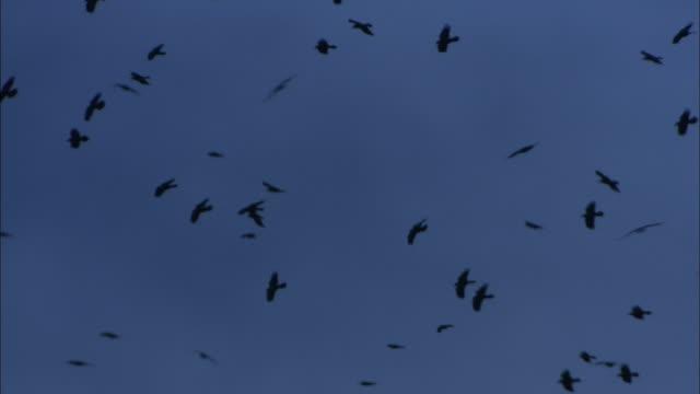 "flock of rooks (corvus frugilegus) flies over rookery at dusk, norfolk, uk - ""bbc natural history"" stock videos & royalty-free footage"