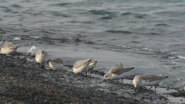 flock of sanderlings searching prey at the seaside - medium group of animals stock videos & royalty-free footage