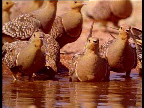 flock of sandgrouse drink in desert pool, sahara desert - 水場点の映像素材/bロール