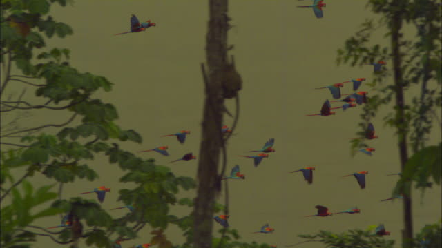 slomo pan flock of scarlet macaws flying with trees in foreground - rainforest stock videos & royalty-free footage