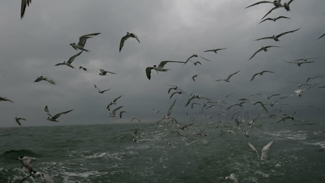 A flock of sea birds diving from the air to catch fish.