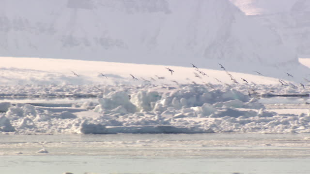 A flock of sea birds fly over pack ice in Greenland.