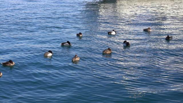 Flock of sea duck