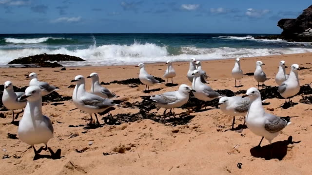 flock of sea gulls standing on the beach - scavenging stock videos & royalty-free footage