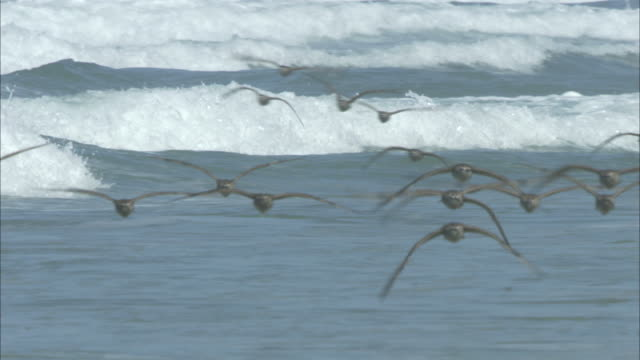 a flock of seabirds flies over incoming waves. - sea water bird stock videos & royalty-free footage
