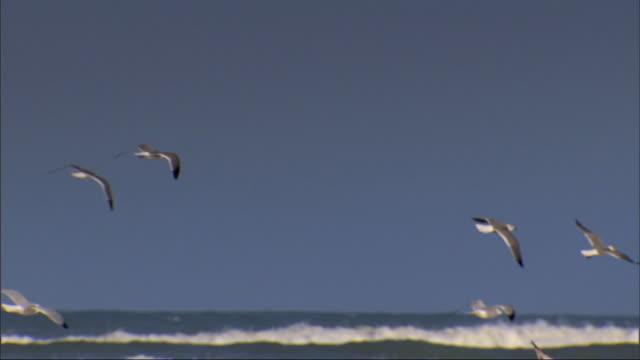 vídeos de stock e filmes b-roll de flock of seabirds taking off from sandy beach amp flying along shoreline pan following flight of birds near rolling ocean waves birds landing further... - gaivota