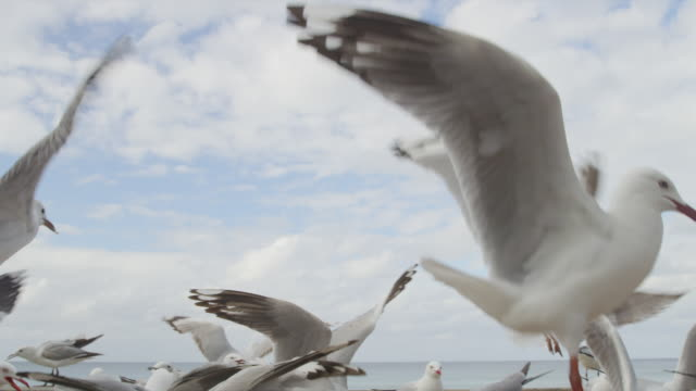 flock of seagulls feed on crumbs - sea water bird stock videos & royalty-free footage