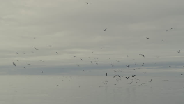 vídeos de stock, filmes e b-roll de flock of seagulls (larinae) flies over flat calm irish sea, ireland - gaivota