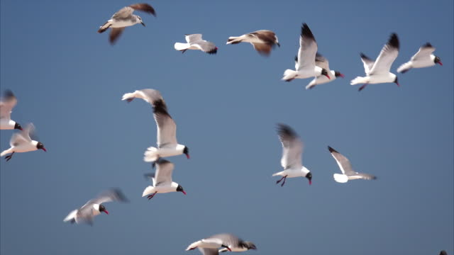 Flock of Seagulls Flying Over Isla Beach in South Padre Island, Texas