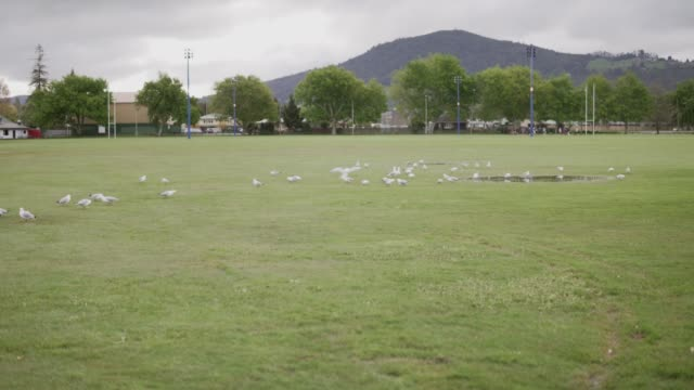 flock of seagulls on a field - seagull stock videos & royalty-free footage