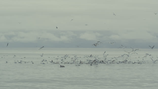stockvideo's en b-roll-footage met flock of seagulls (larinae) on flat calm irish sea, ireland - meeuw
