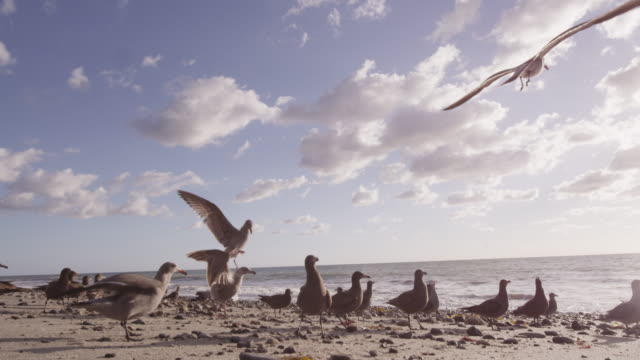 stockvideo's en b-roll-footage met flock of seagulls on rocky beach, slow motion - meeuw