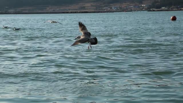 flock of seagulls searching prey above the sea near bogildo island - gruppo medio di animali video stock e b–roll
