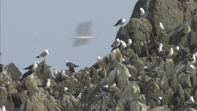 Flock of seagulls sit on jagged rocks