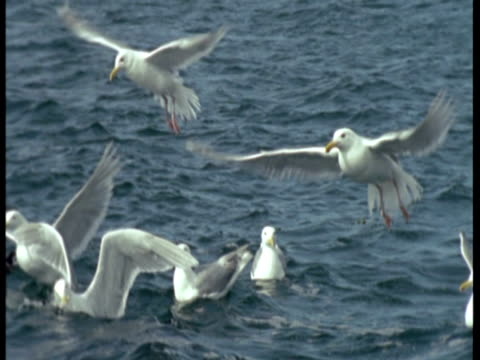 a flock of seagulls takes off from the surface of the water. - sea bird stock videos & royalty-free footage