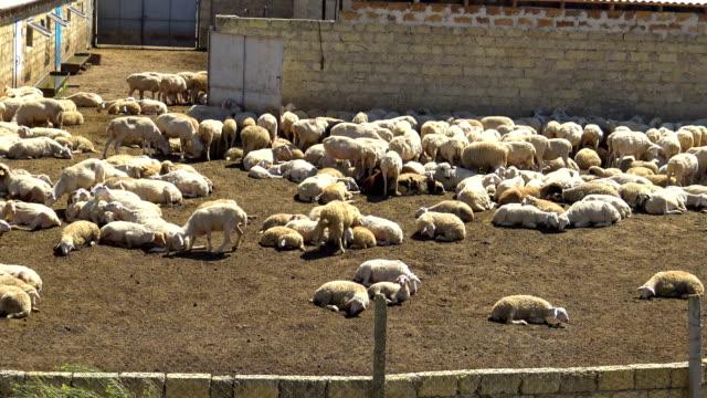 flock of sheep after shearing - sheep shearing stock videos & royalty-free footage