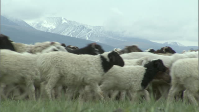 Flock of sheep and goats walk past camera, Bayanbulak grasslands,