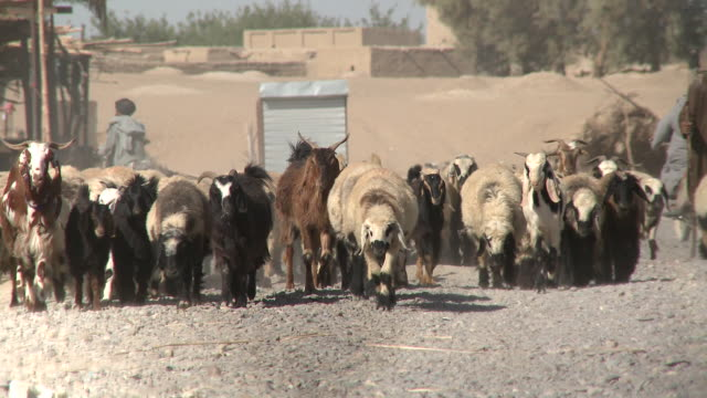 A flock of sheep and goats walks on a gravel street in an Afghan village.