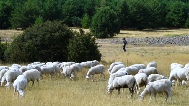 flock of sheep and shepherd - sheep stock videos and b-roll footage