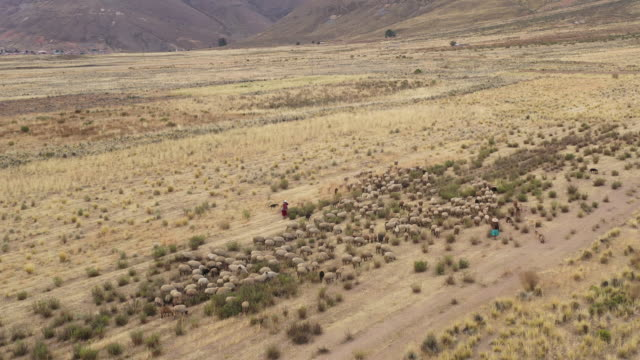 flock of sheep and shepherds in pazna municipality / poopo province, bolivia - south america stock videos & royalty-free footage