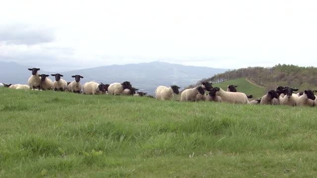 A Flock Of Sheep At Ranch