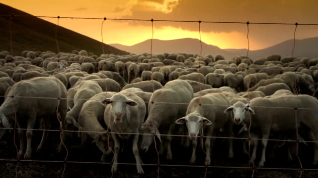 flock of sheep at sunset - flock of sheep stock videos and b-roll footage