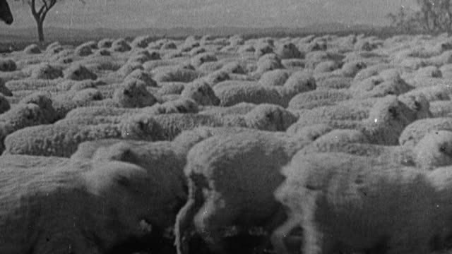 vidéos et rushes de 1949 montage flock of sheep being herded in field, wool shearers working in barns, sheared sheep leaping on farm / australia - mouton