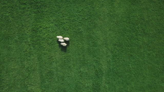 上から羊の群れ - 動物の一団点の映像素材/bロール