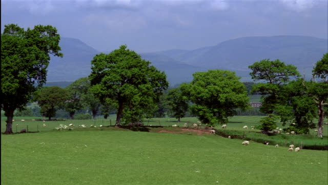 a flock of sheep graze in a lush green pasture with green trees and highlands in the background.  central scotland - perthshire stock videos & royalty-free footage
