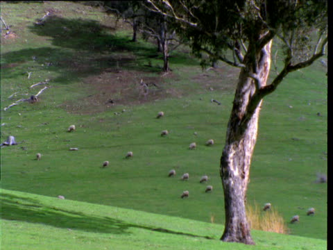 vídeos y material grabado en eventos de stock de flock of sheep graze on hillside, new south wales, australia - oveja merina