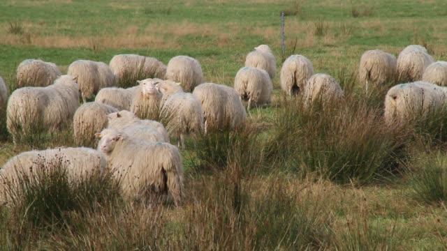 a flock of sheep grazes in a field. - flock of sheep stock videos and b-roll footage