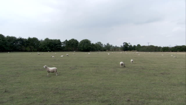 A flock of sheep grazes in a large grassy pasture. Available in HD.