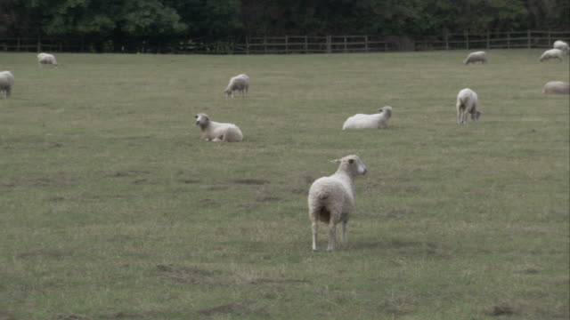A flock of sheep grazes in a pasture. Available in HD.