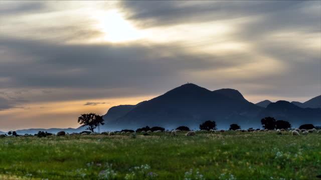 vídeos y material grabado en eventos de stock de rebaño de oveja de pastoreo en puesta de sol - oveja merina