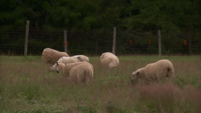 ws flock of sheep grazing in field / stowe, vermont, usa - mittelgroße tiergruppe stock-videos und b-roll-filmmaterial