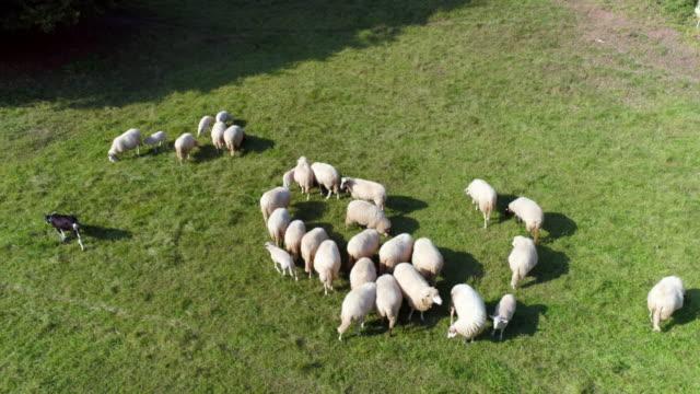 flock of sheep grazing in meadow - herding stock videos & royalty-free footage