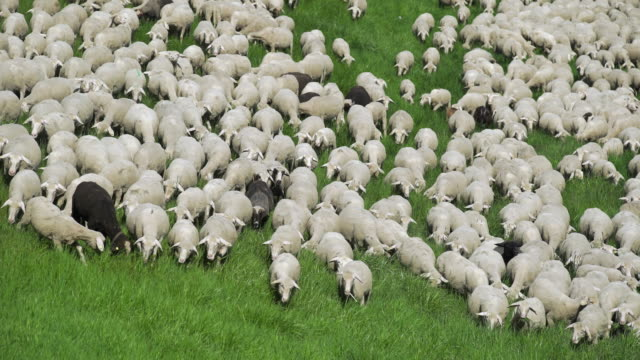 flock of sheep grazing in spring meadow (4k/uhd) - sheep stock videos & royalty-free footage
