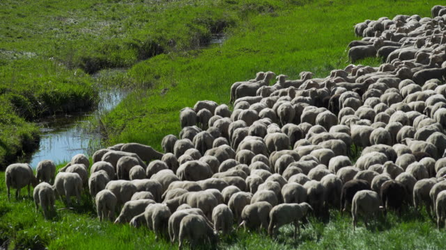 flock of sheep grazing in spring meadow (4k/uhd) - flock of sheep stock videos & royalty-free footage