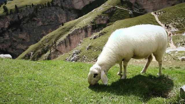 vídeos de stock e filmes b-roll de rebanho de ovelhas em um campo pastar - cinco animais