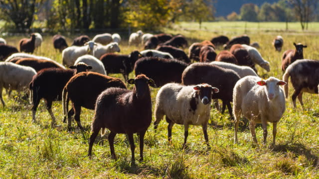flock of sheep grazing on a pasture - flock of sheep stock videos and b-roll footage