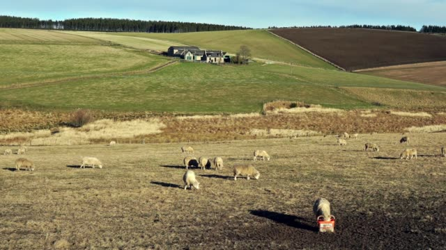 flock of sheep grazing on grass hill - scottish culture stock videos & royalty-free footage