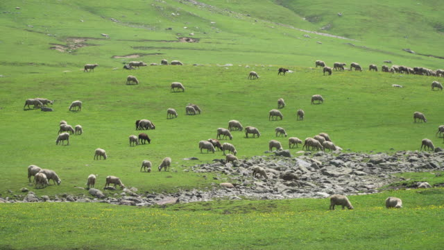 flock of sheep grazing on green pasture - grazing stock videos & royalty-free footage